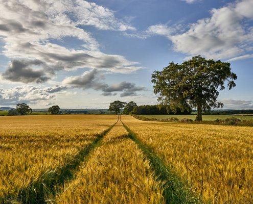 Barley Fields - Scottish Whisky
